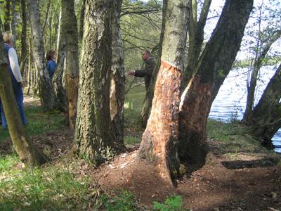 "Naturlehrpfad ""Grosser Klietzer See"" -Biberfraß an Bäumen"