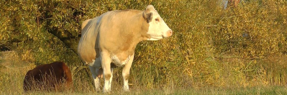 Klietzer Kühe